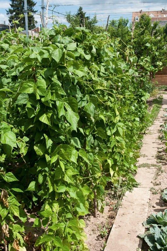 bush beans plant - companion planting guide