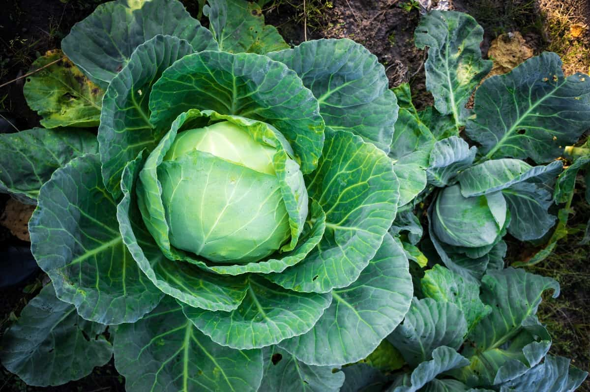 image of companion planting cabbage plants