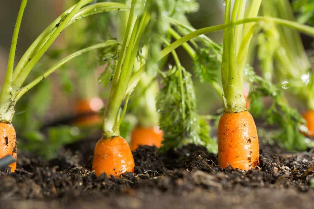 carrots grow in shade img