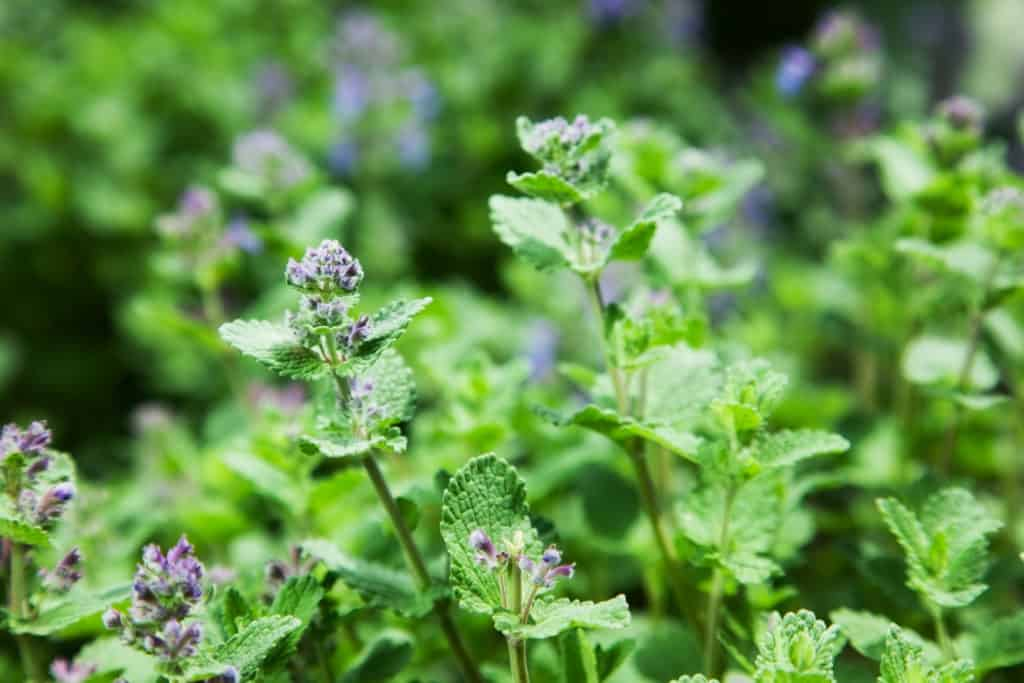 catnip mint repelling flies plant