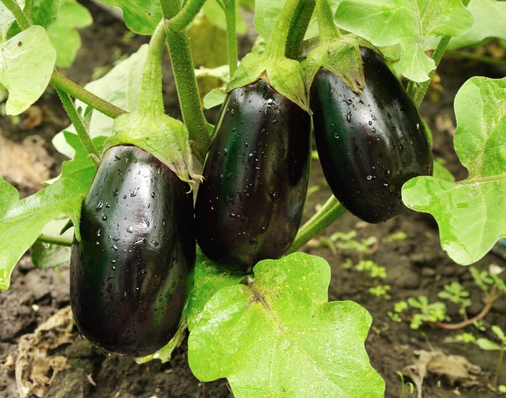 eggplant - vegetable companion planting