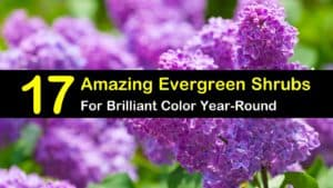 17 Amazing Evergreen Shrubs for Brilliant Color Year-Round