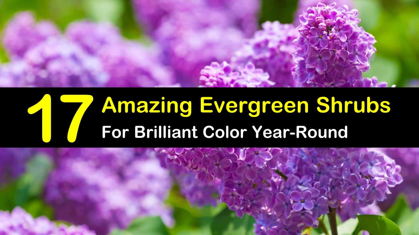 17 Amazing Evergreen Shrubs For Brilliant Color Year Round