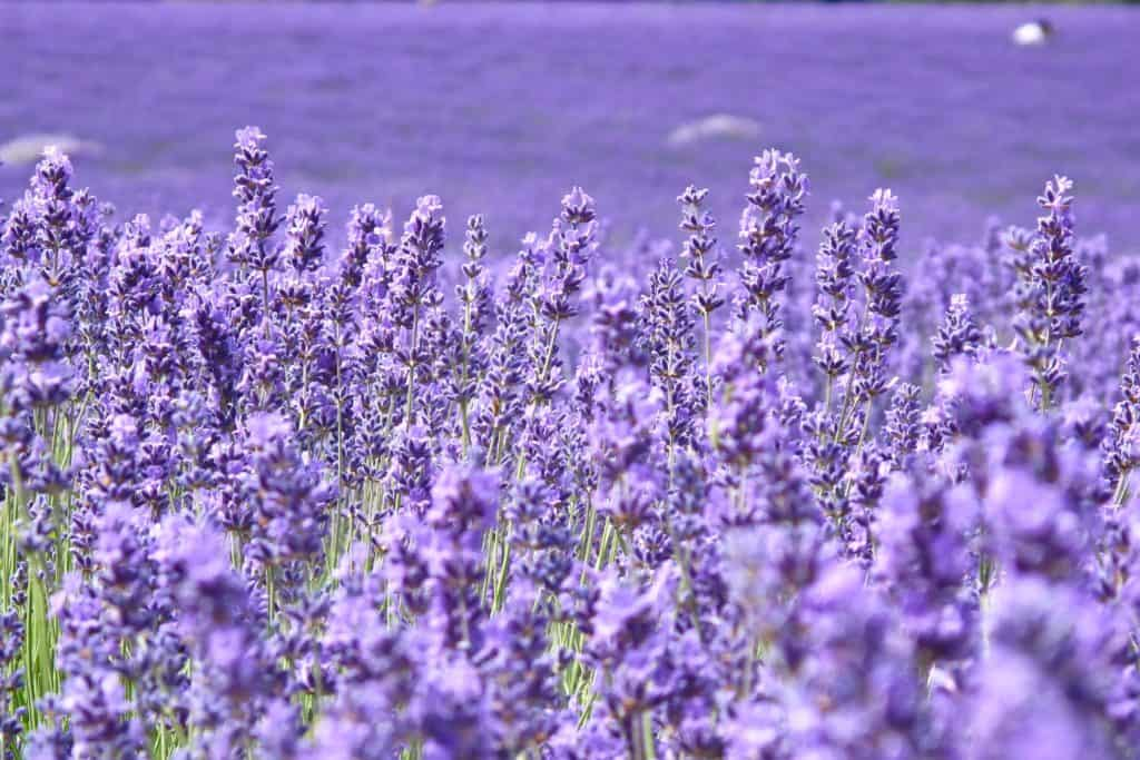 lavender plants to get rid of mosquitoes