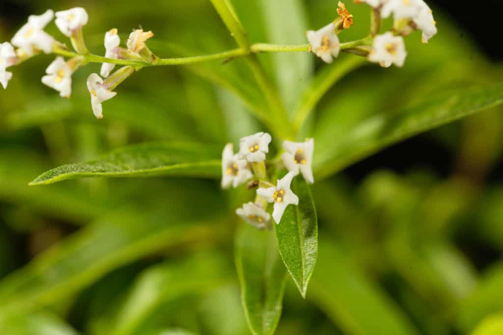 lemon verbena to repel mosquitoes
