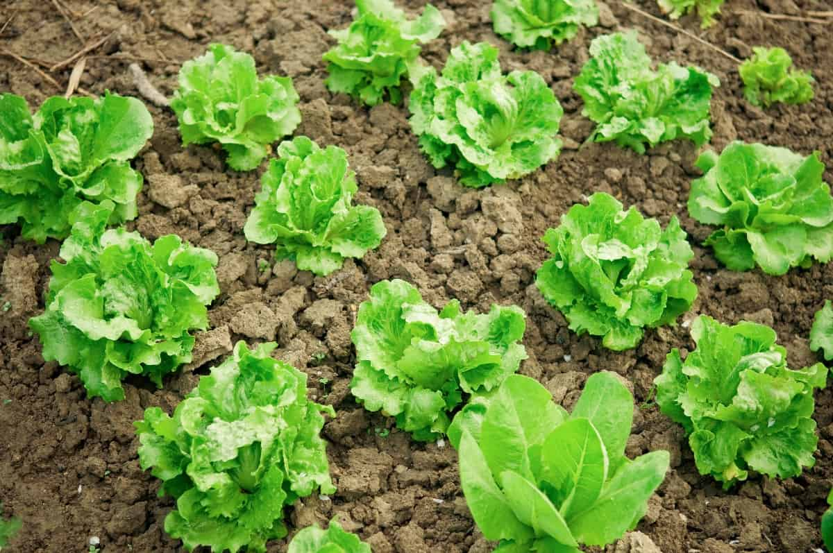 lettuce plants in vegetable garden - perfect for companion planting