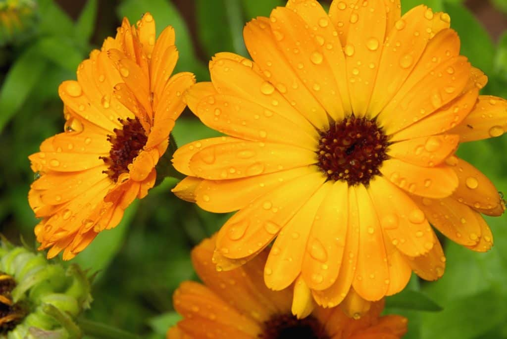 marigolds flowers