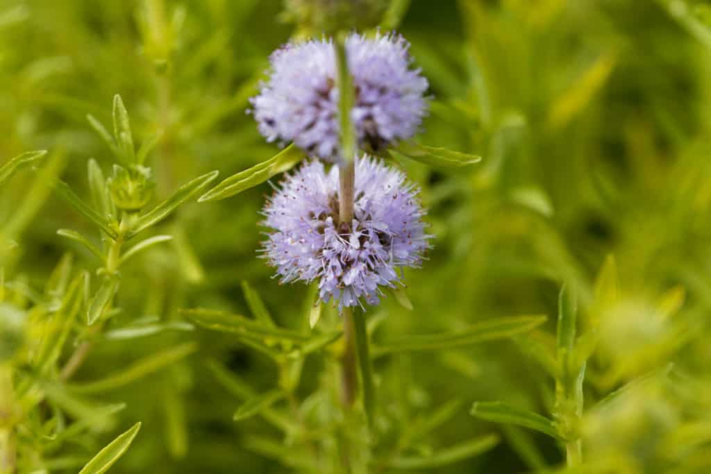 pennyroyal to repel mosquitoes