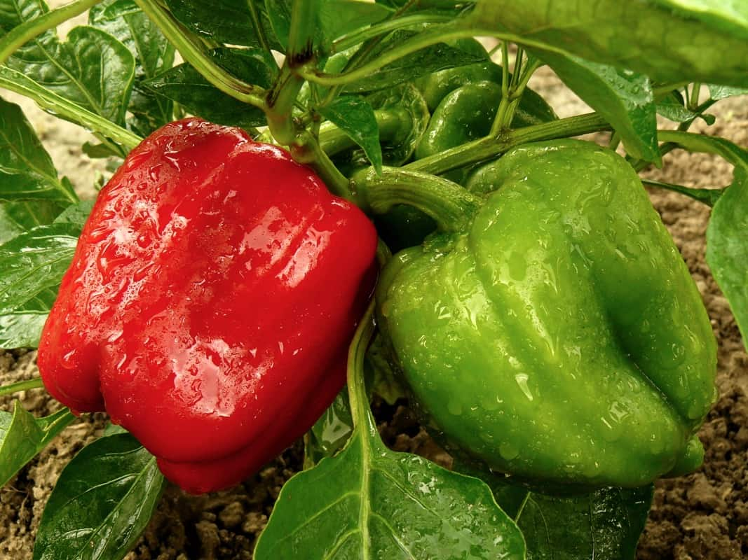 red and green bell peppers growing in the garden