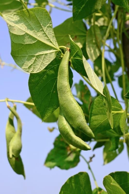 companion planting pole beans