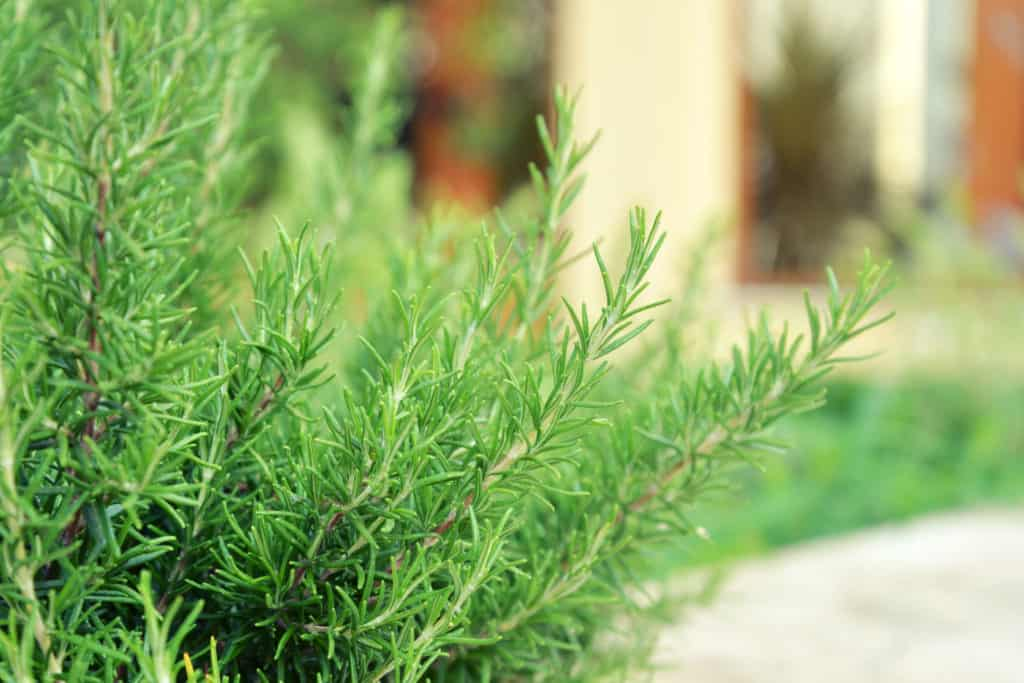 rosemary to keep mosquitoes away