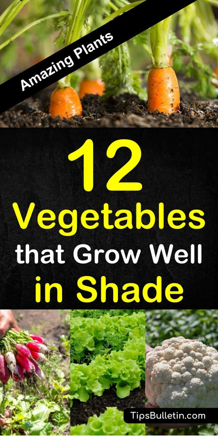 Discover 12 amazing vegetables that grow well in shade. The perfect veggies and herbs for any yard or raised beds planting in spring or summer. The ideal garden plants for low sunlight or shadow areas. #growingvegetables #shade #gardening #planting #harvest #sun #shadow #plants