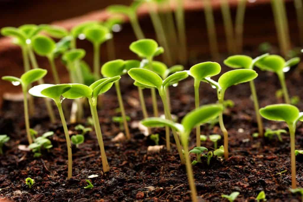 use hydrogen peroxide in the garden for seedlings titlimg