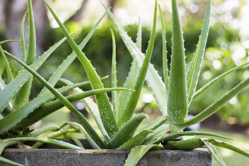 Aloe Vera drought tolerant plants