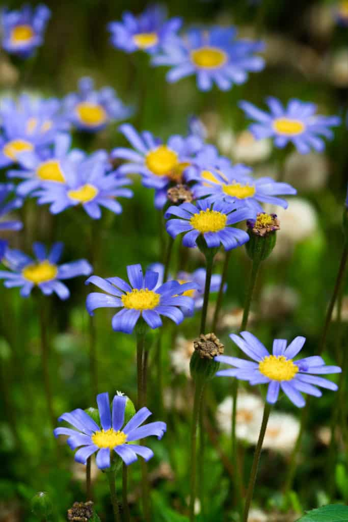 Amazing Blue Daisy Drought Tolerant Plants