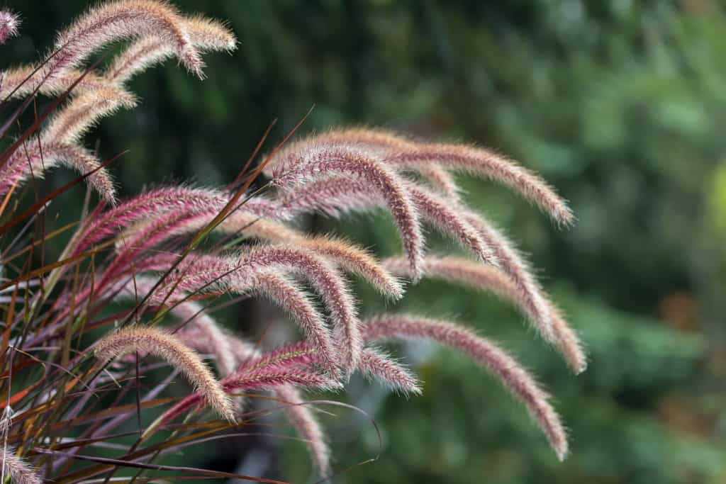 Drought Tolerant Fountain Grass