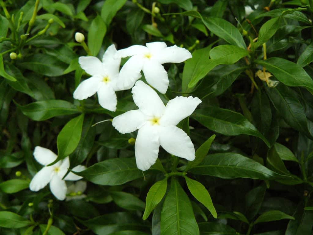 Jasmine plant img