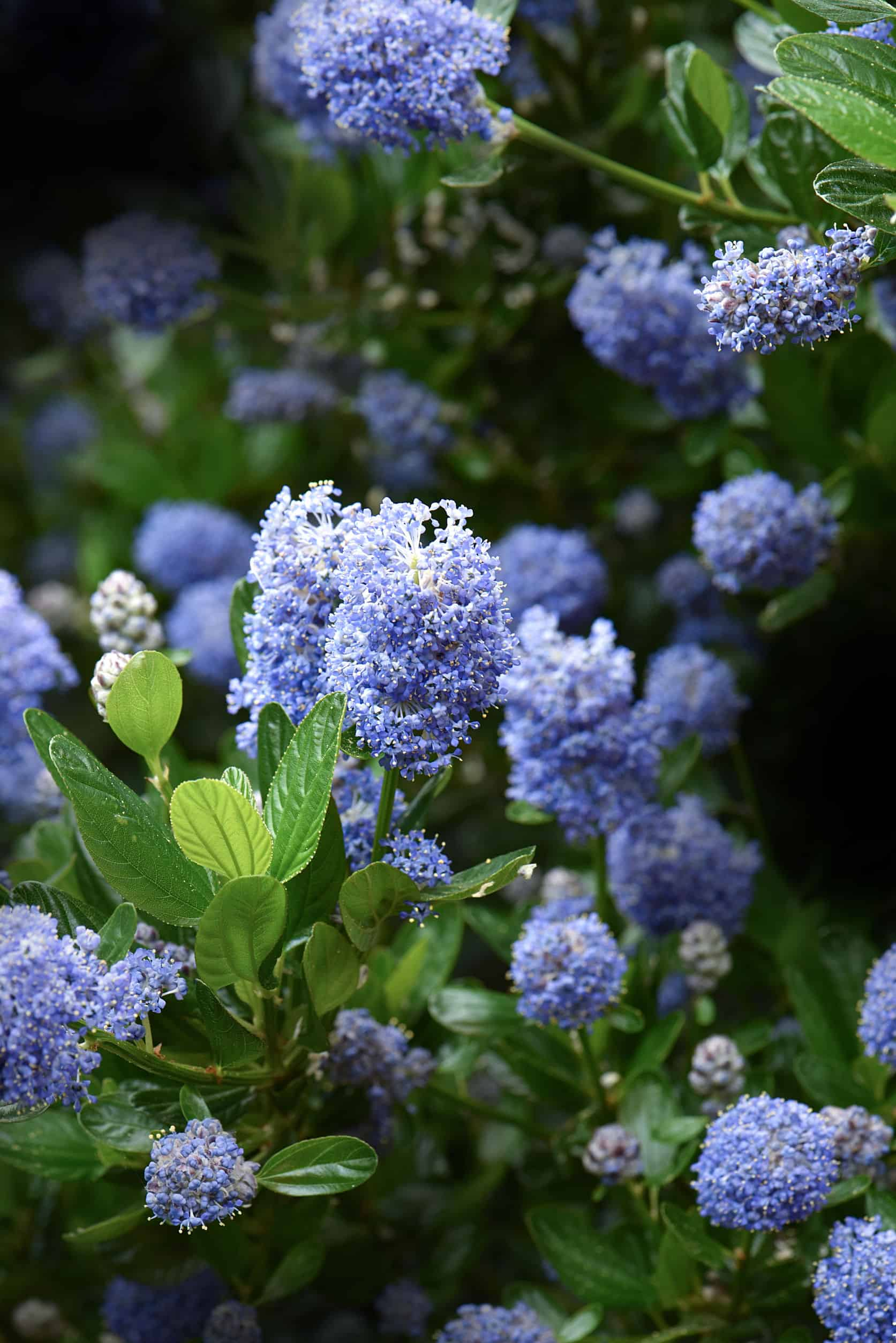 Wild Lilac drought plant