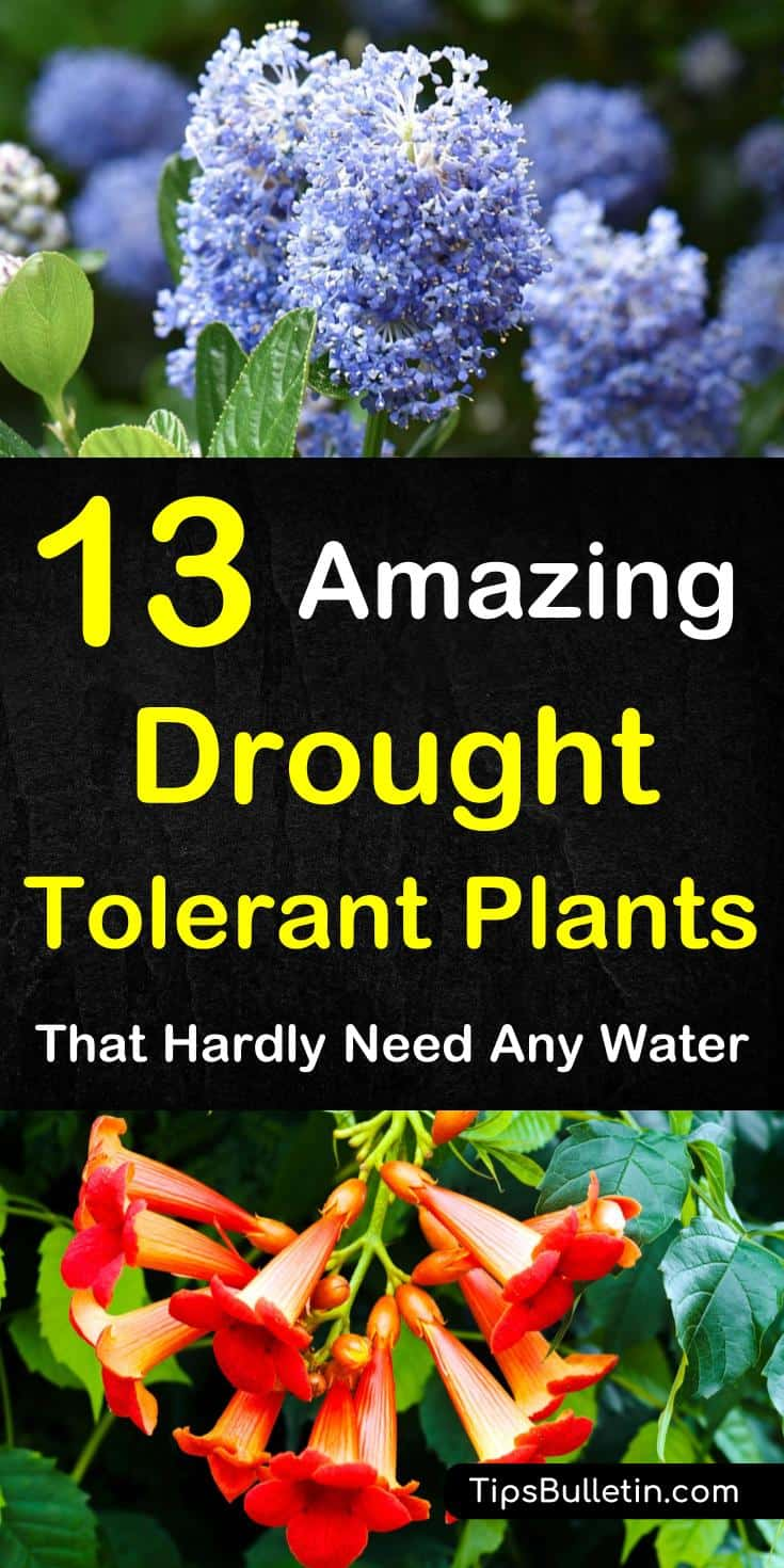 Discover 13 colorful drought-tolerant plants for your front yard or flowering pots. Perfect for garden containers and front yards in zone 5 hot areas like California, Texas, Arizona, Nevada or New Mexico. The perfect perennials for full sun conditions.#drought #plants #hot #summer #heat