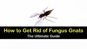 how to get rid of gnats outside in yard
