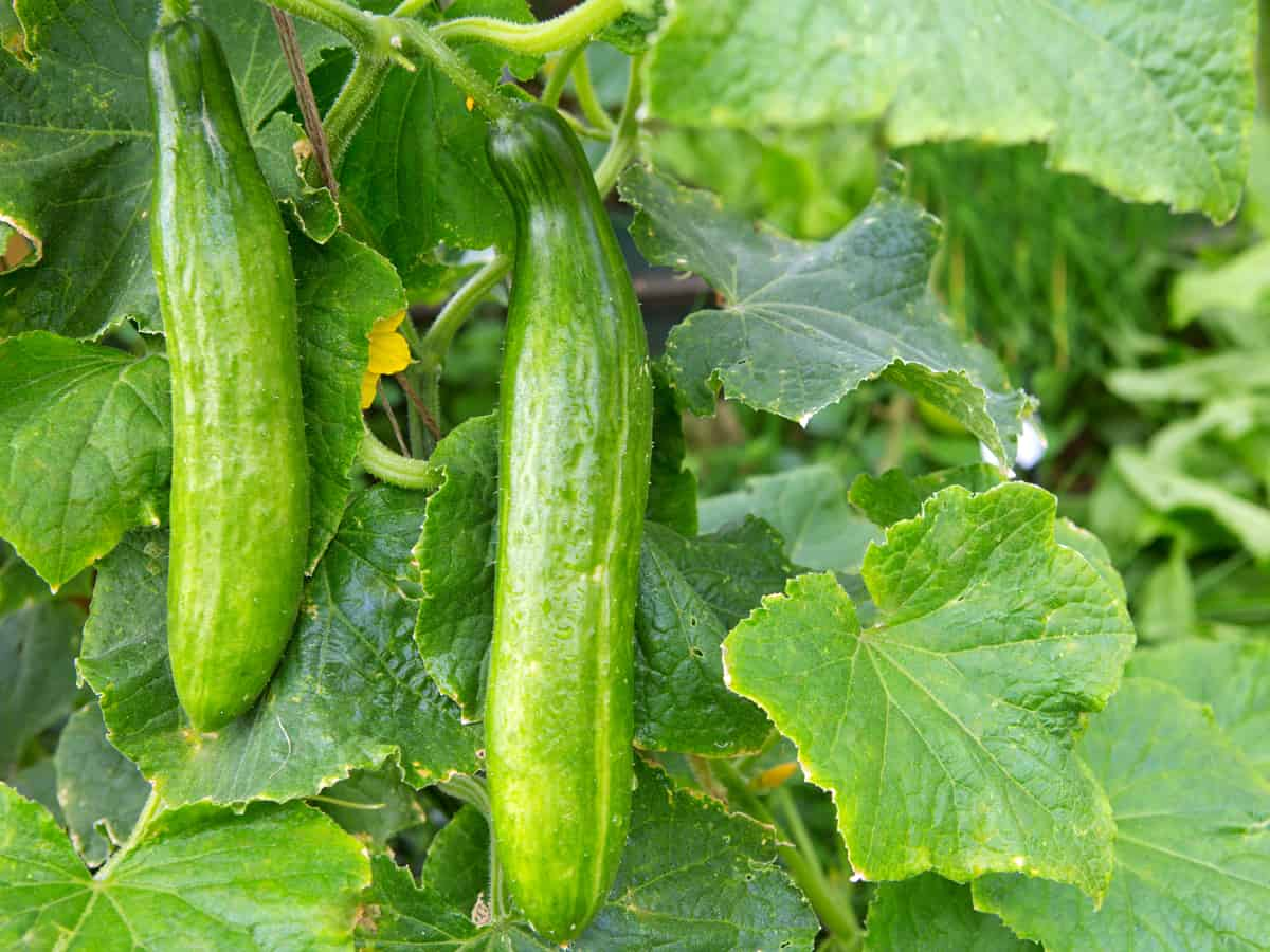 cucumbers hiding in the garden