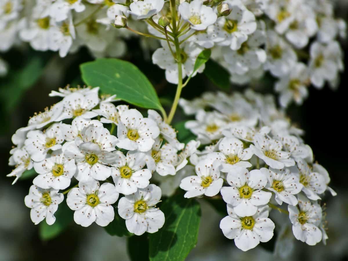 The english dogwood plant smells so good