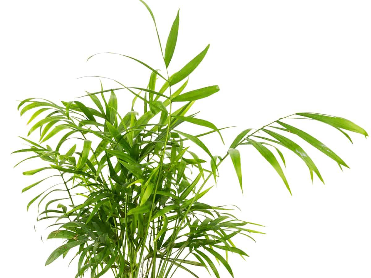 Areca palms promote sleep
