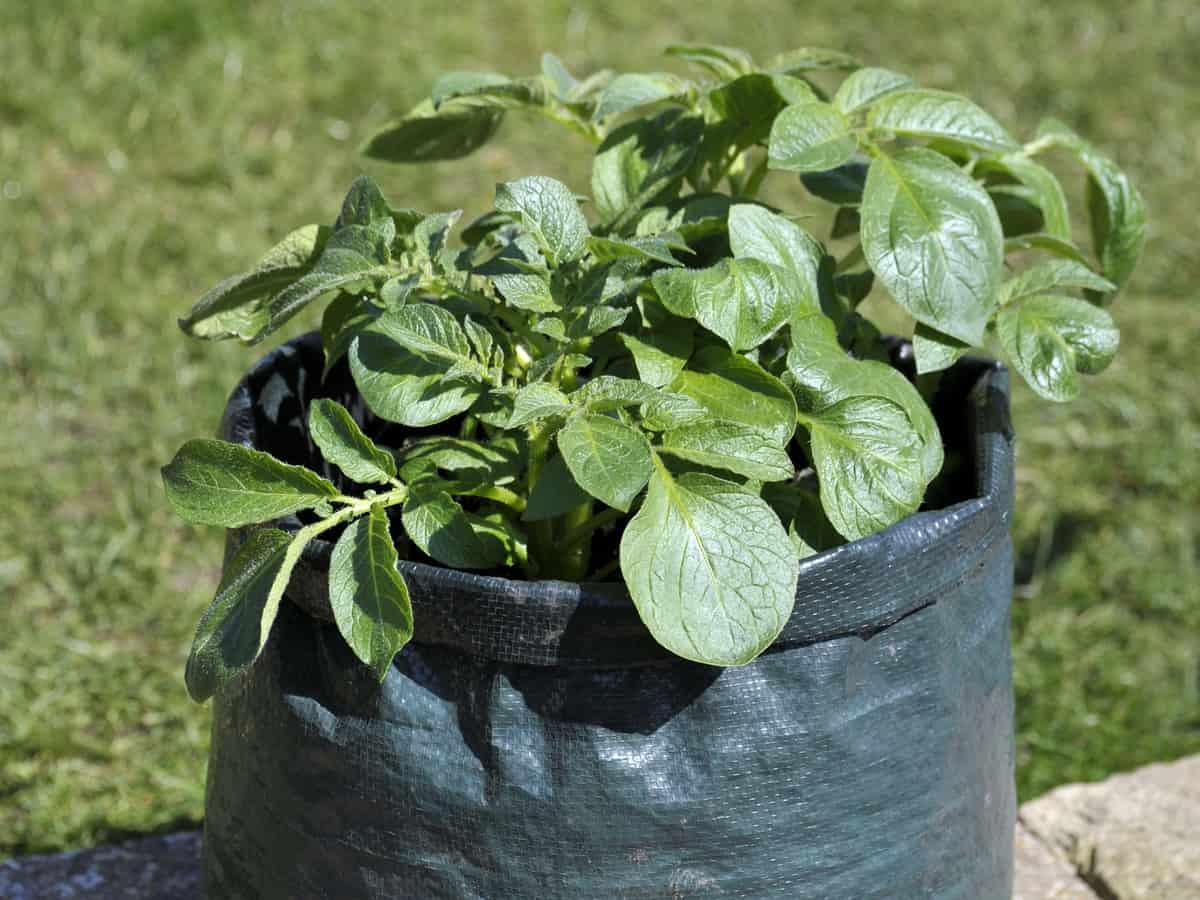 grow potatoes in a bag