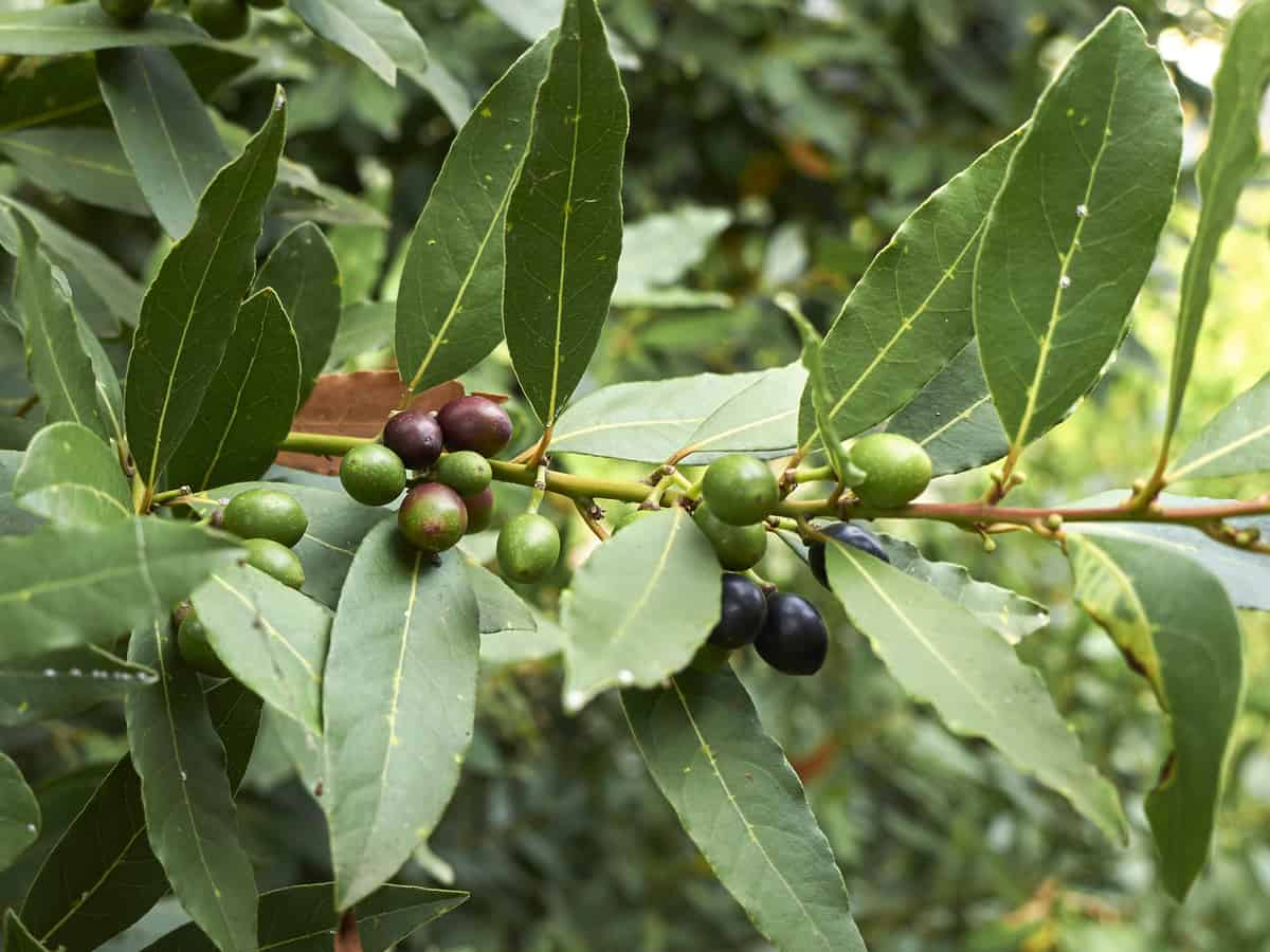 bay leaf or bay laurel with berries