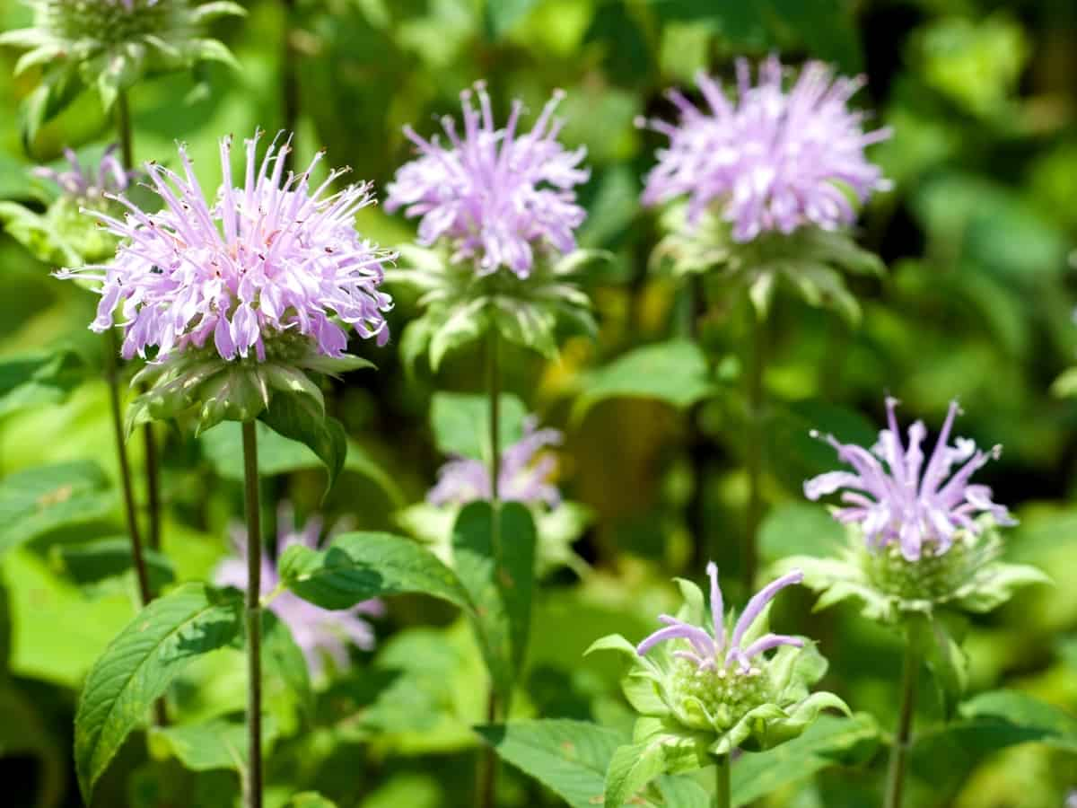 bergamot plant the smell from the mint family