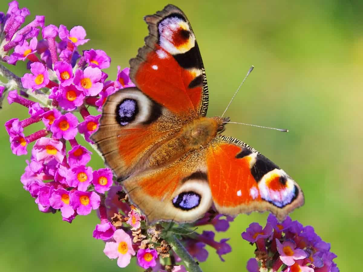 summer lilac or butterfly bush
