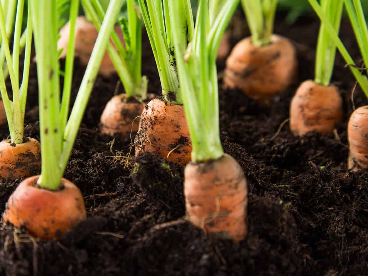 carrots perfect vegetable for your container