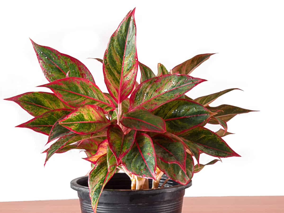 Chinese evergreen is beautiful but toxic