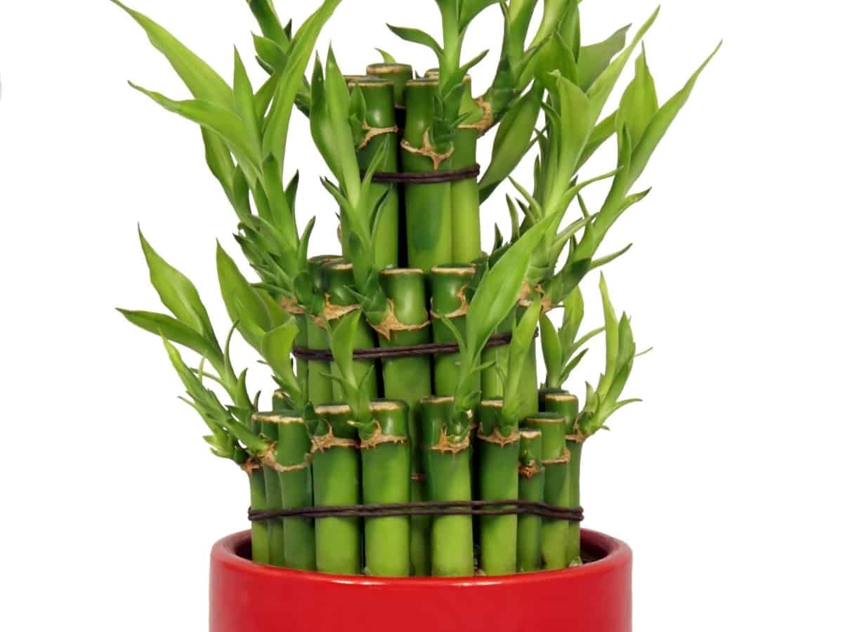bamboo as a bathroom plant