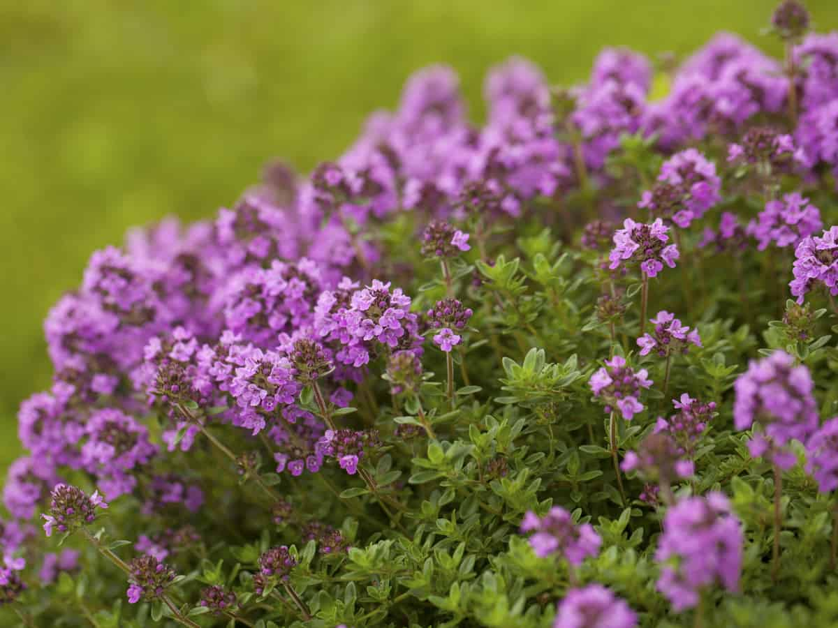 ground cover flower - creeping thyme