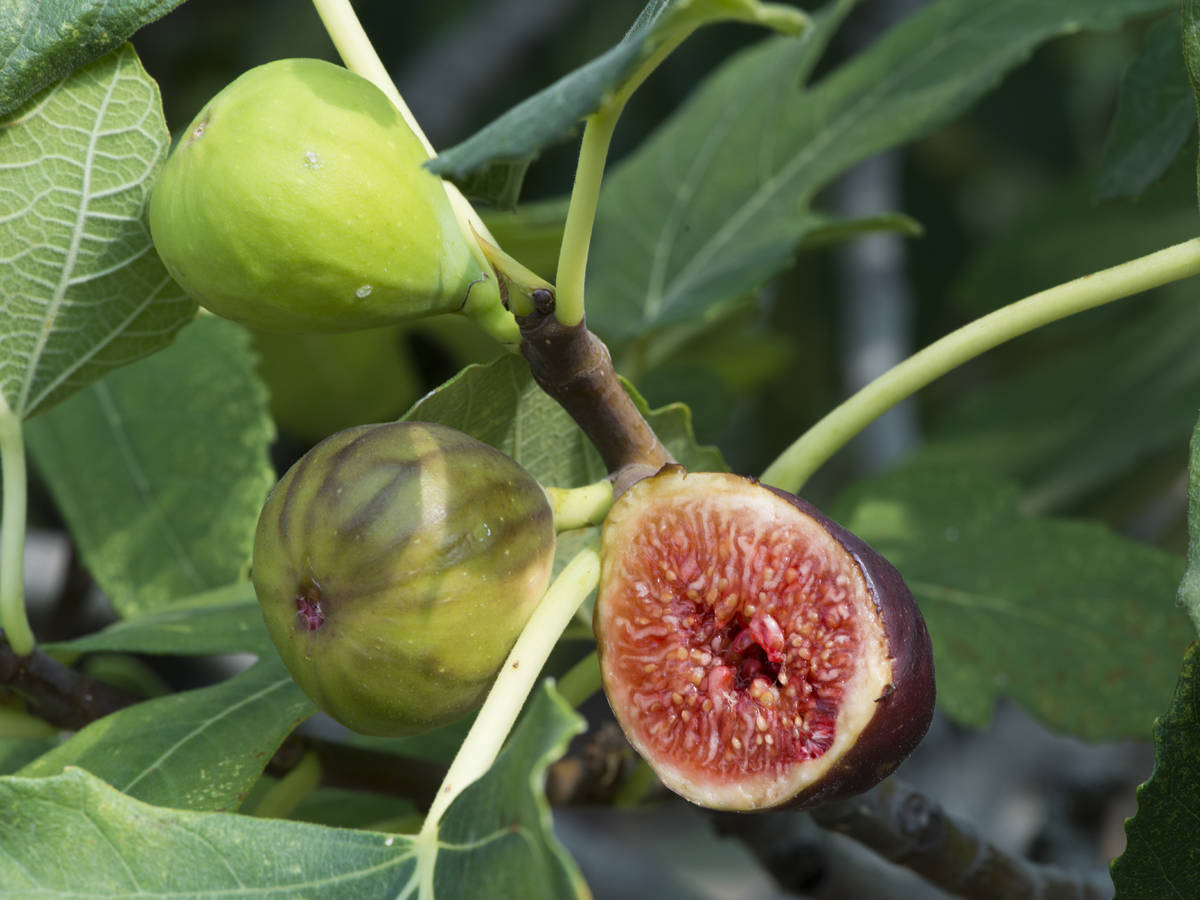 grow fig trees in containers