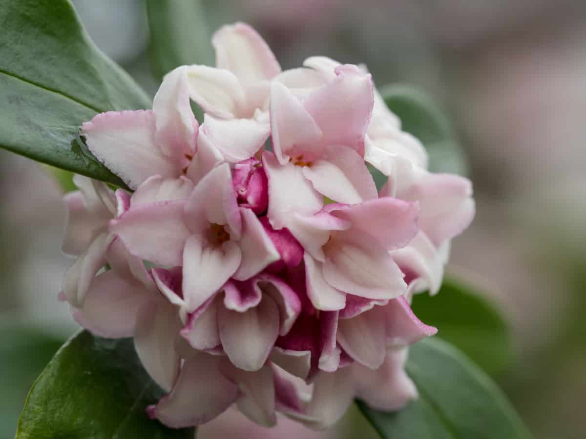 daphne odora has a fragrant aroma