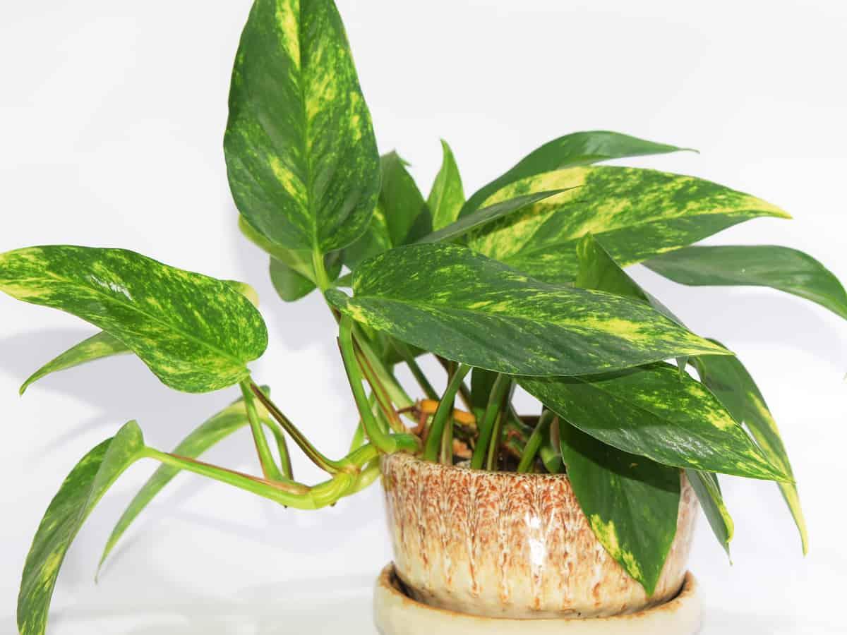 devil's ivy or golden pothos in a pot