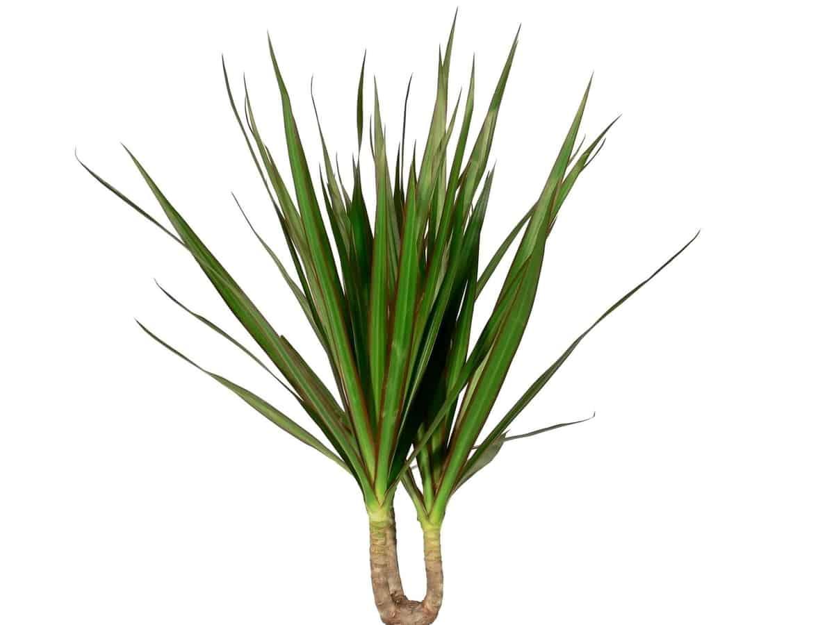 dracaena is an easy bathroom plant
