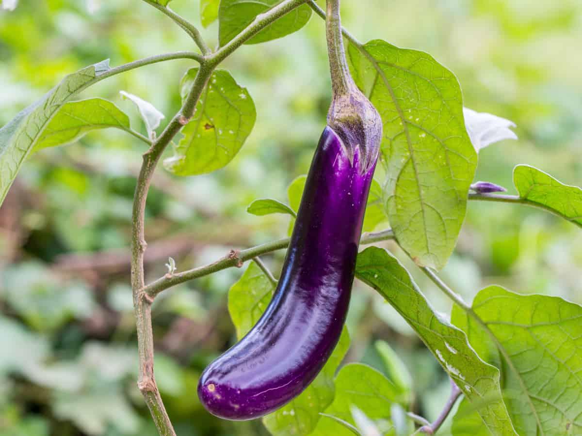 eggplant ripening