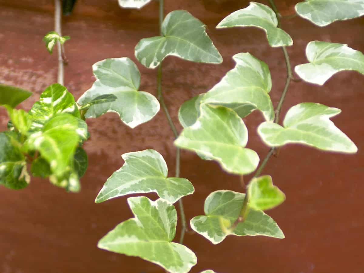 English ivy is easy to grow