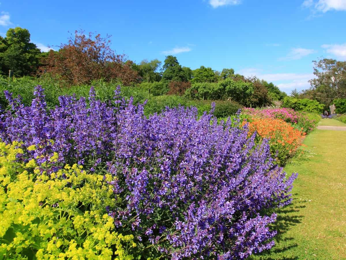 lavender brightens the landscape