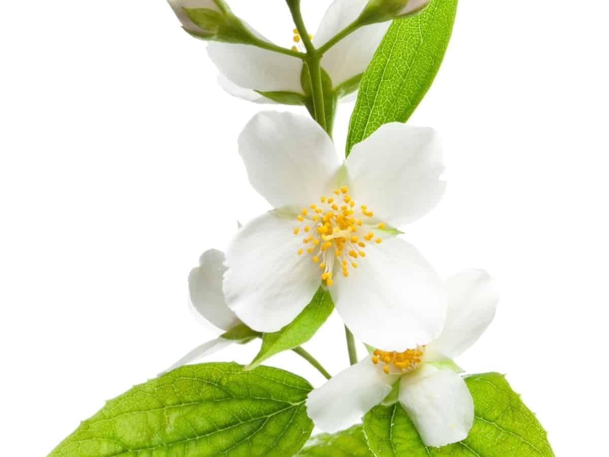 jasmine is a flowering vine