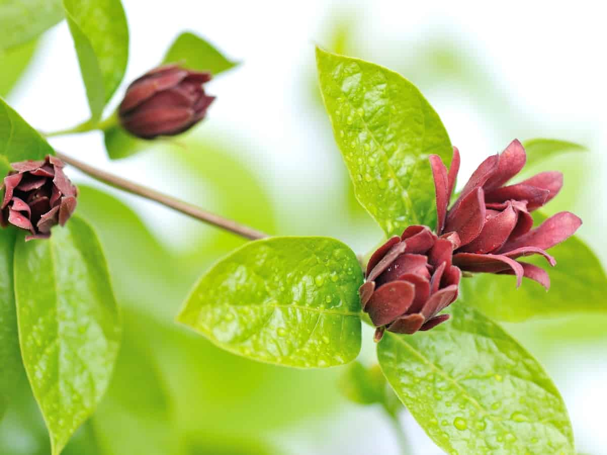 allspice plant smells great