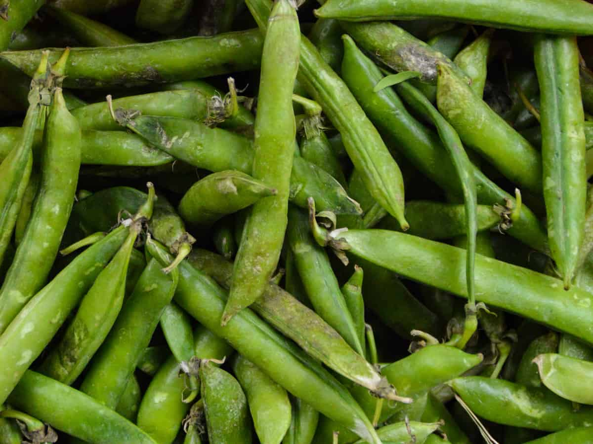 pick pole beans from a container