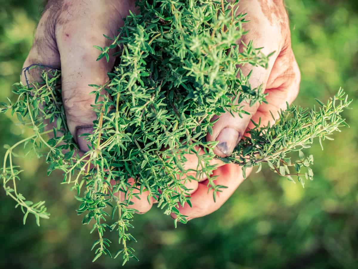 thyme is a fragrant herb