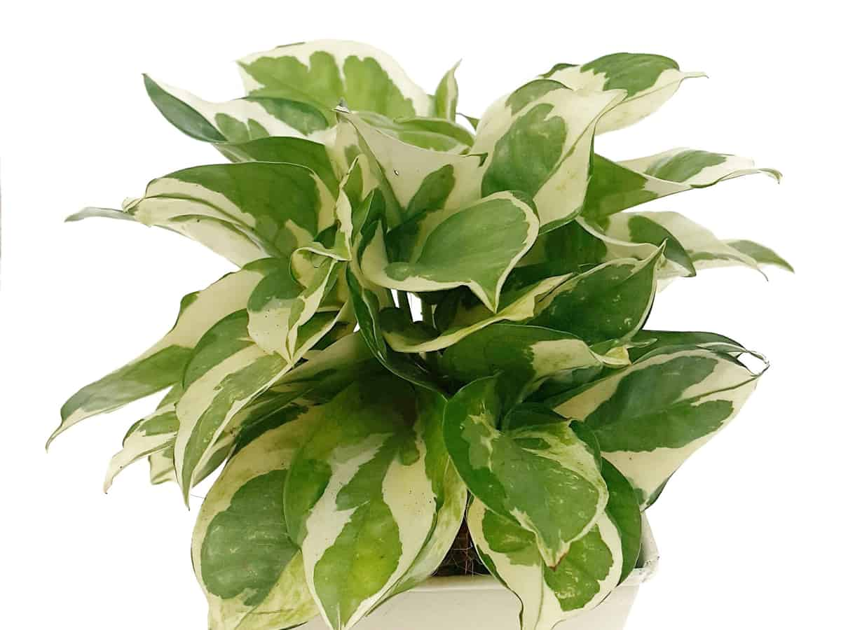 golden pothos or devil's ivy
