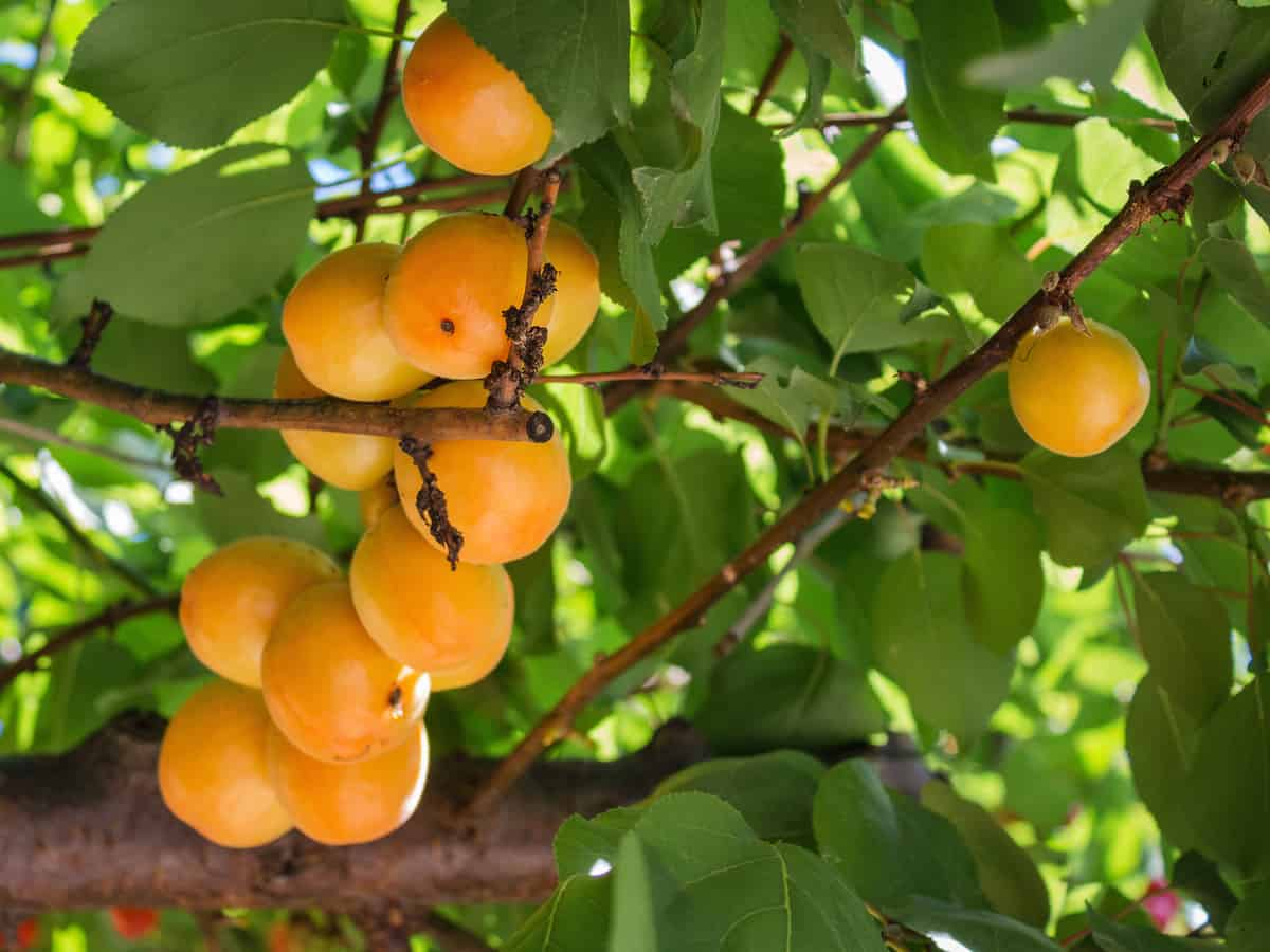 apricot trees thrive wonderfully in pots