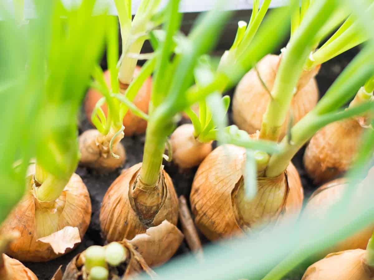 pick green onions