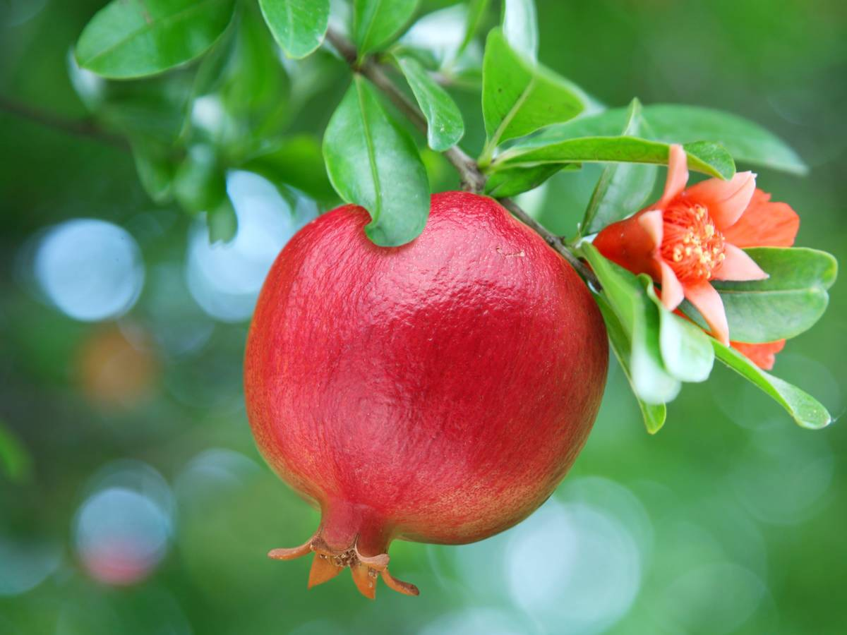 ripe red pomegranate
